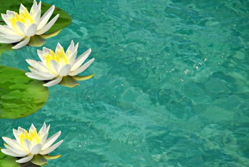 White_yellow_water_lilies_pond
